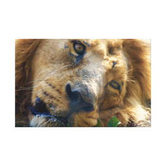 The Resting Lion Canvas Print