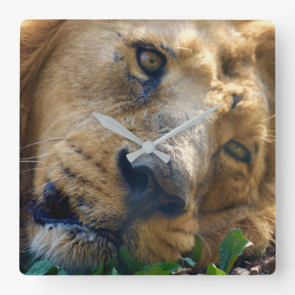 The Resting Lion Square Wall Clock