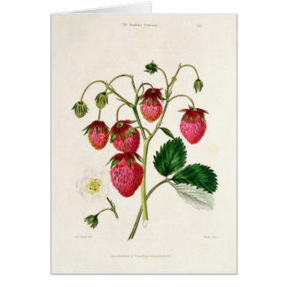 The Roseberry Strawberry, engraved by Watte Card