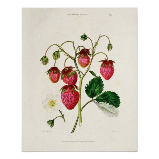 The Roseberry Strawberry, engraved by Watte Poster
