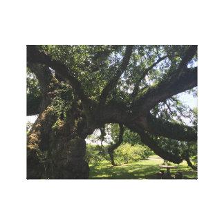 The Sallier Oak Canvas Print