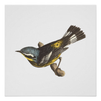 The Spotted Warbler(Sylvicola maculosa) Print