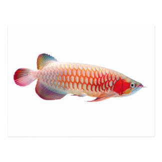 "The superior product 2 ""of Super Red Arowana"" Postcard"