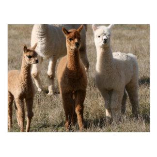 The Three Amigos, Alpaca-Style Postcard