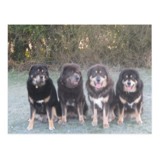 The Tibetan Mastiff Gang Postcard