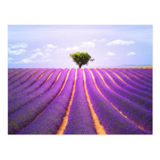 The tree in the lavender postcard
