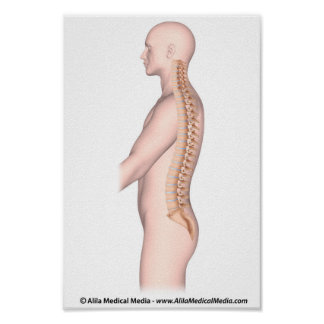 The vertebral column unlabeled drawing. print