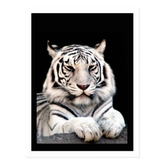 The White Bengal Tiger Postcards