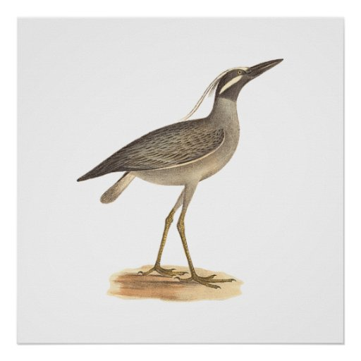 The Yellow-crowned Night Heron(Ardea violacea) Posters