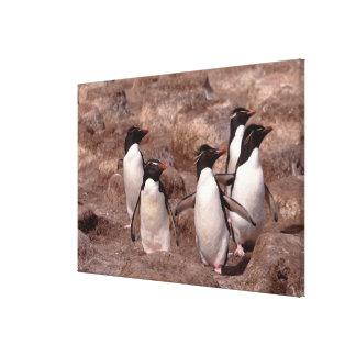These five Rockhopper Penguins (Eudyptes Stretched Canvas Prints