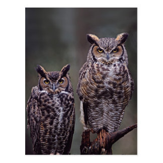 These Great Horned Owls (Bubo virginianus), Postcard