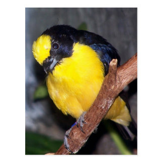thick billed euphonia2 postcard