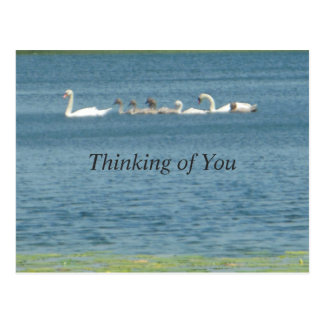 Thinking of You Family of Swans Postcard