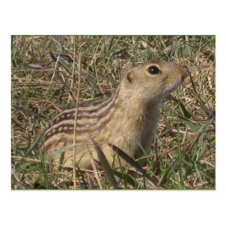 Thirteen Lined Ground Squirrel Postcard