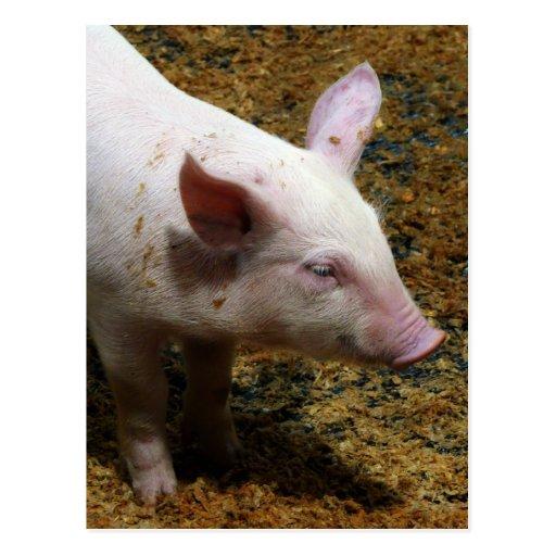 This Little Piggy - Baby Piglet Photo Postcards