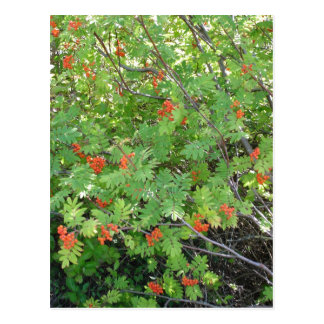 This tree is called Rowan in English (scientific n Postcard