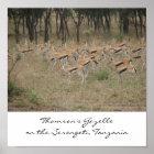 Thomson's Gazelle on the Serengeti, Ta... Poster