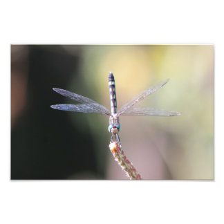 Thornbush Dasher Dragonfly, Front View Photo Print