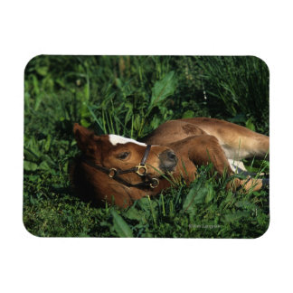 Thoroughbred Foal Lying Down Rectangular Photo Magnet