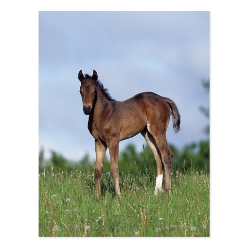 Thoroughbred Foal Standing in the Grass Postcards