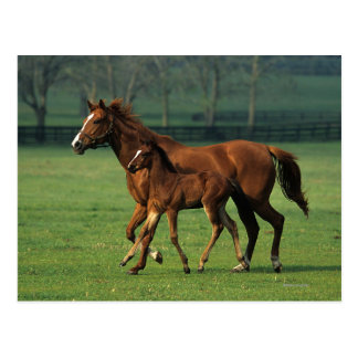 Thoroughbred Mare & Foal 3 Postcard