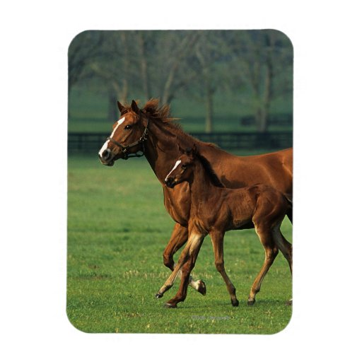 Thoroughbred Mare & Foal 3 Rectangle Magnet