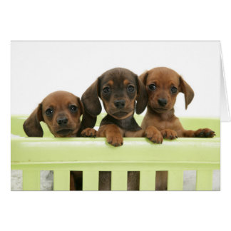 Three Adorable Dachsund Puppies Card