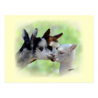 Three Alpacas Postcard