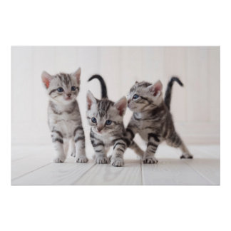Three American Shorthair Playing Poster