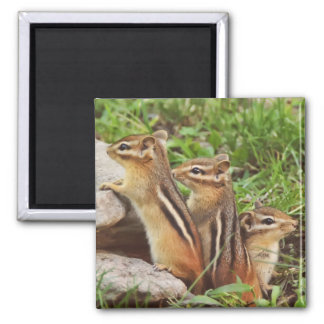 Three Baby Chipmunks Magnet