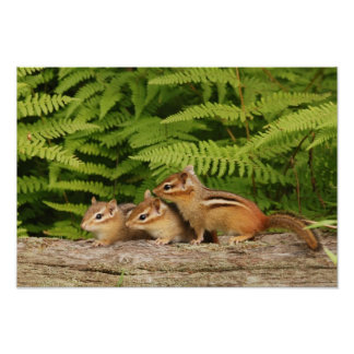 three baby chipmunks poster