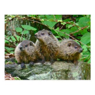 Three Baby Groundhogs Postcard