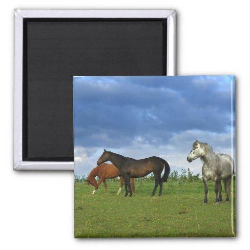 Three beautiful horses on sunny Summer day Refrigerator Magnets