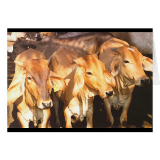 Three Brown Cows in Golden Sunlight Card