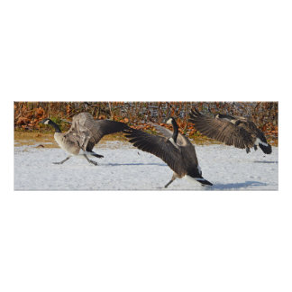 Three Canda Geese In The Snow Poster