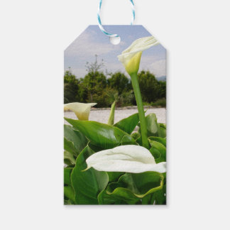 Three Cream Calla Lilies With Garden Background Pack Of Gift Tags