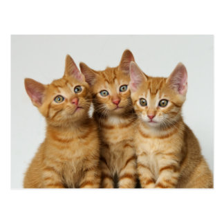 Three cute ginger kittens side by side postcard