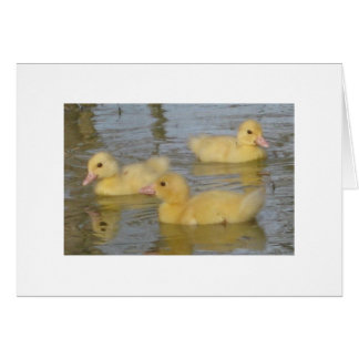 Three Day Old Muscovy Ducklings Greeting Card