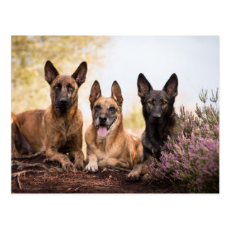 Three dogs postcard