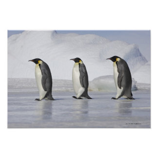Three Emperor Penguins, Snow Hill Island Poster