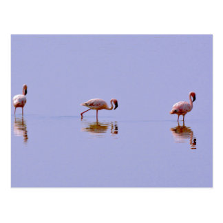 Three Flamingos Postcard