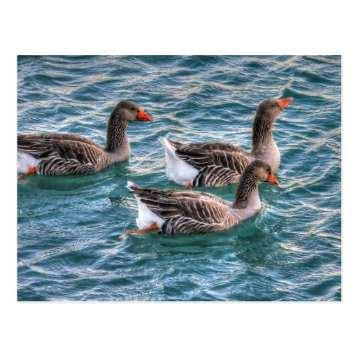 Three geese swimming in blue water post cards