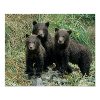 Three Grizzly Bear Cubs or Coys (Cub of the Poster