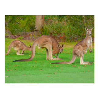 three kangaroos postcard