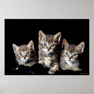 Three Kittens from Junglewalk.com Poster