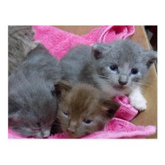 Three Kittens in Box Postcard