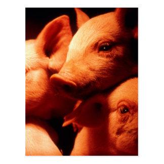 Three Little Pigs Postcard