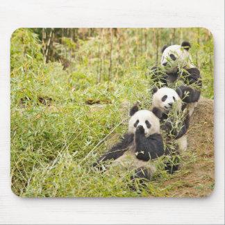 Three Munching Panda Cubs Mousepad