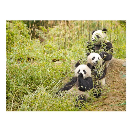 Three Munching Panda Cubs Personalizable Postcard
