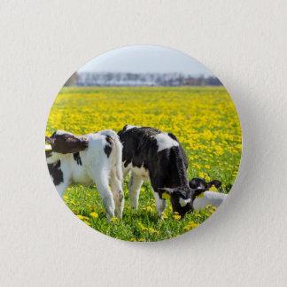 Three newborn calfs in spring dandelions meadow 2 inch round button